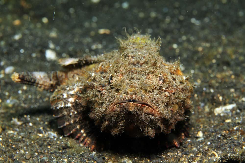 Devil scorpionfish (Scorpaenopsis diabolus)