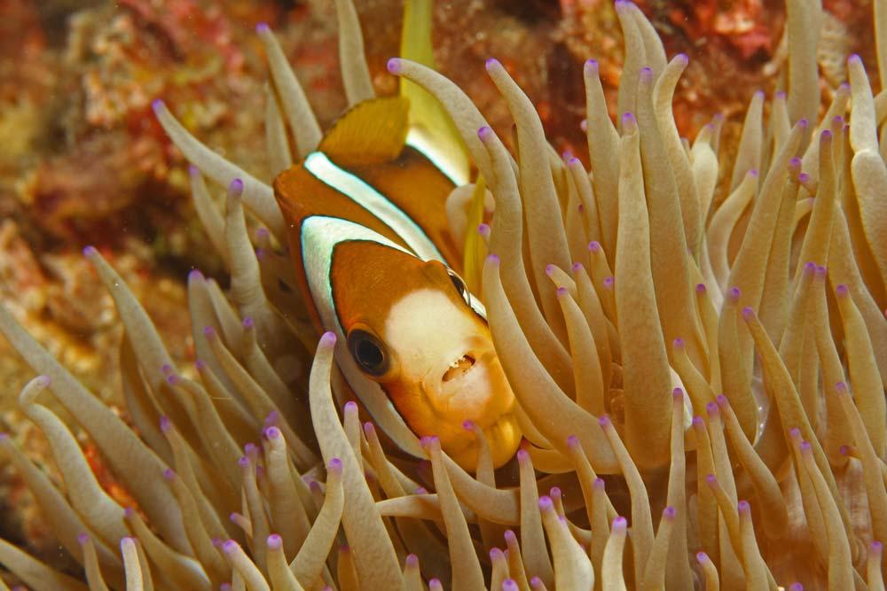 Clarcks anemonefish - orange variation (Amphiprion clarkii)