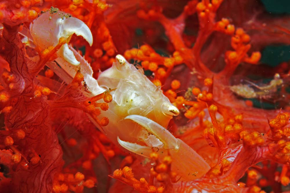 Crowned coral crab (Quadrella coronata)