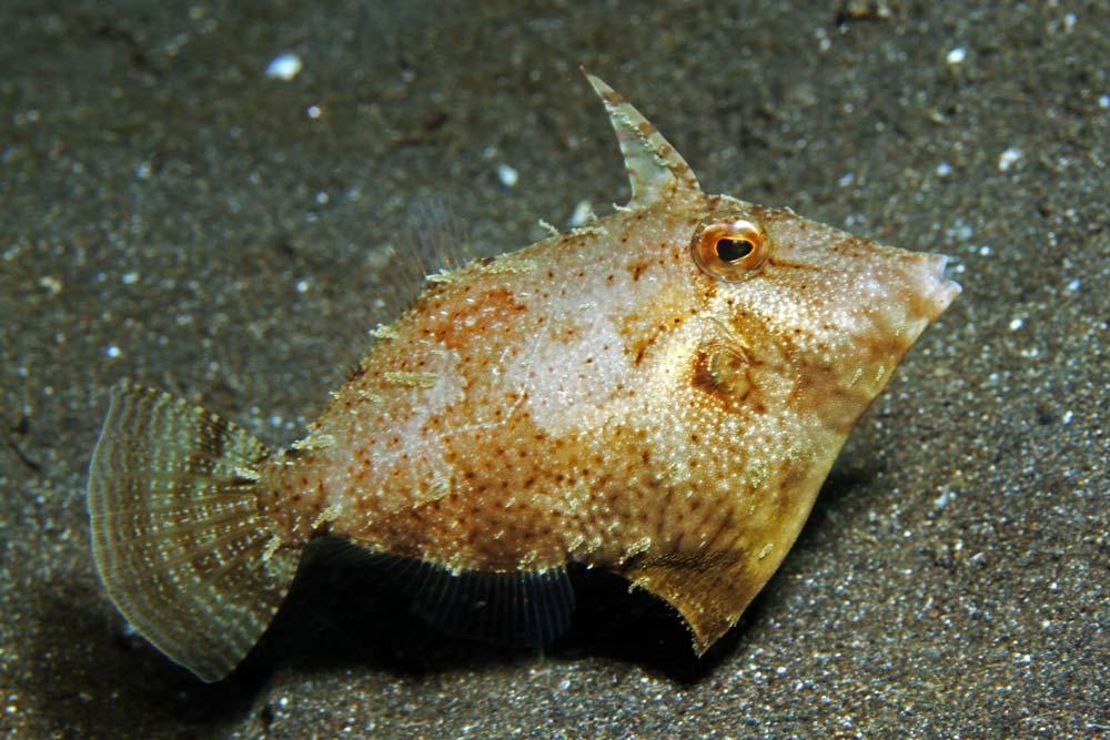 Strapedweed filefish, juvenile (Pseudomonacanthus macrurus)