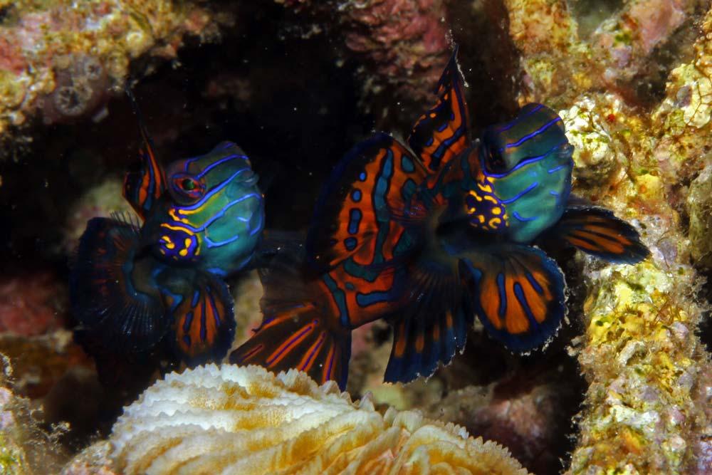 Mandarinfish (Synchiropus splendidus)