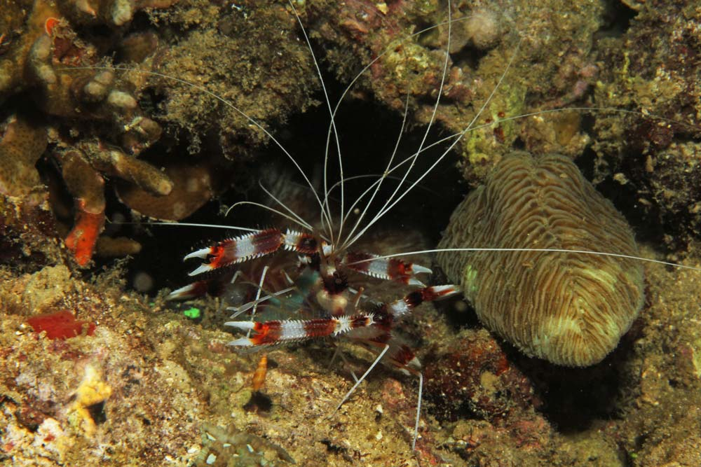 Banded coral shrimp (Strenopus hispidus)