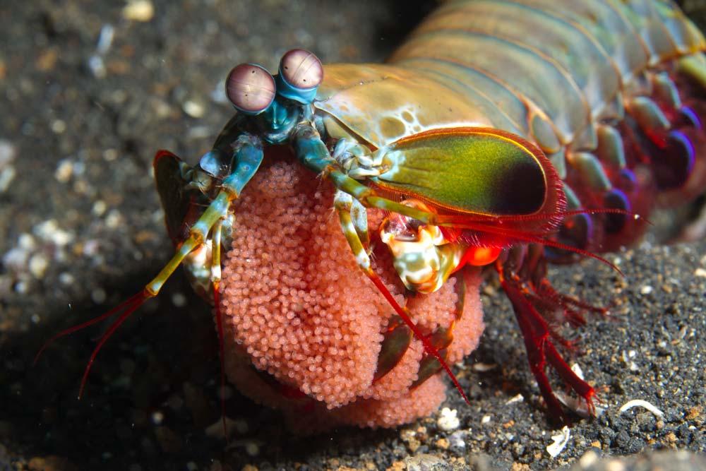 Peacock mantis with eggs (Odontodactylus scyllarus)