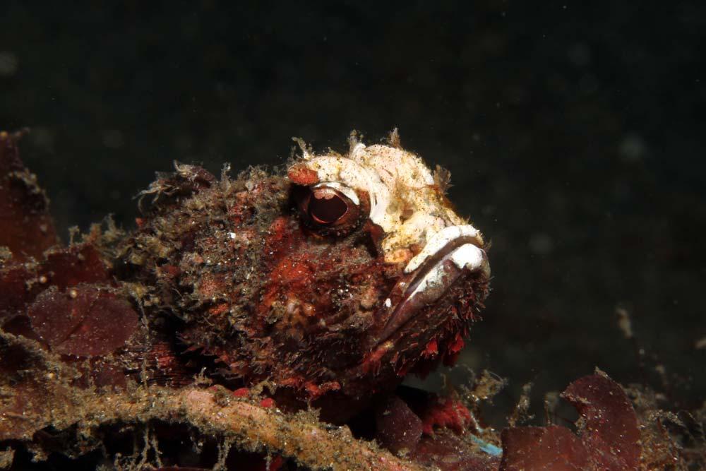 Whiteface waspfish (Richardsonichthys leucogaster)