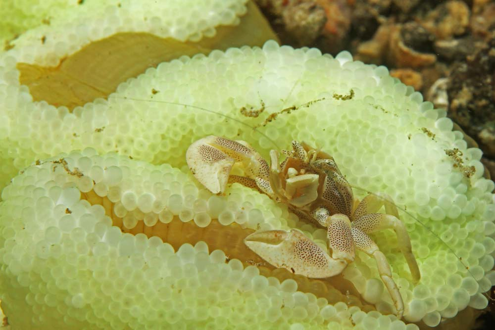 Spotted porcelain crab (Neopetrolisthes maculatus)