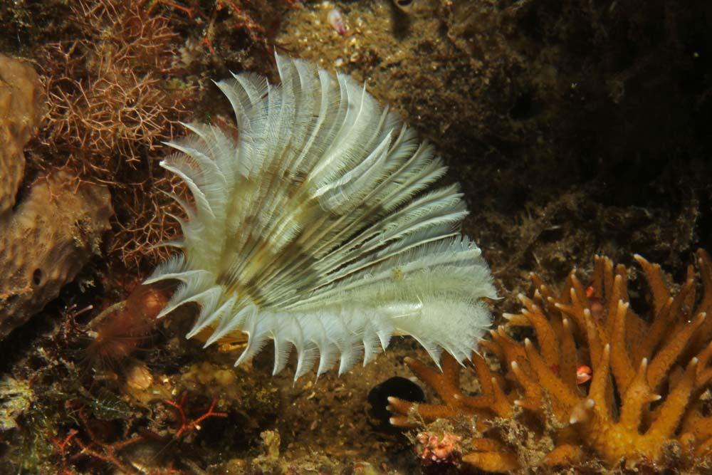 Feather duster worm (Bispira sp.1)