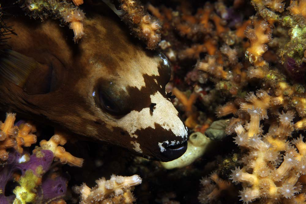 Blackspotted puffer - Variation (Arothron nigropunctatus)